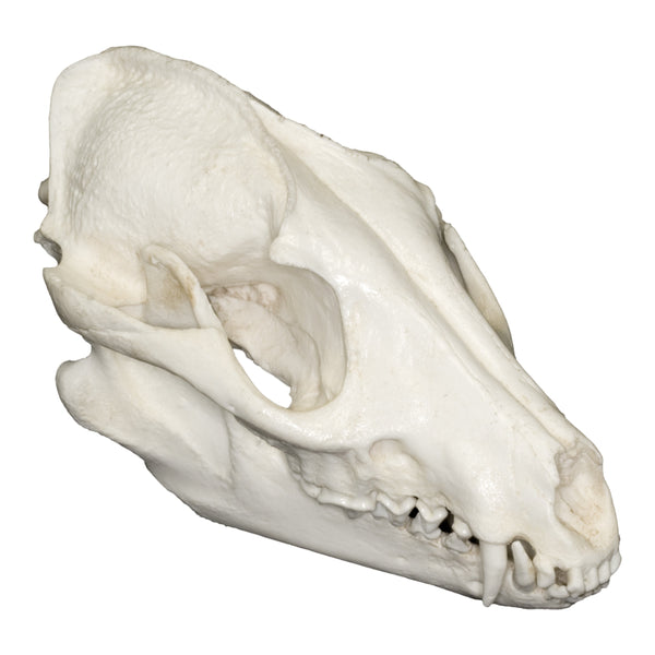 Replica Raccoon Dog Skull