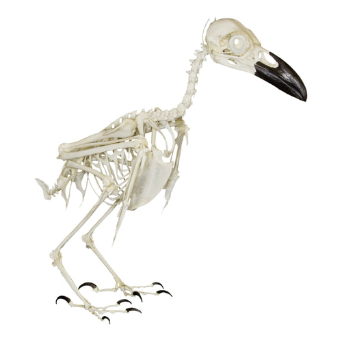 Replica Raven Skeleton