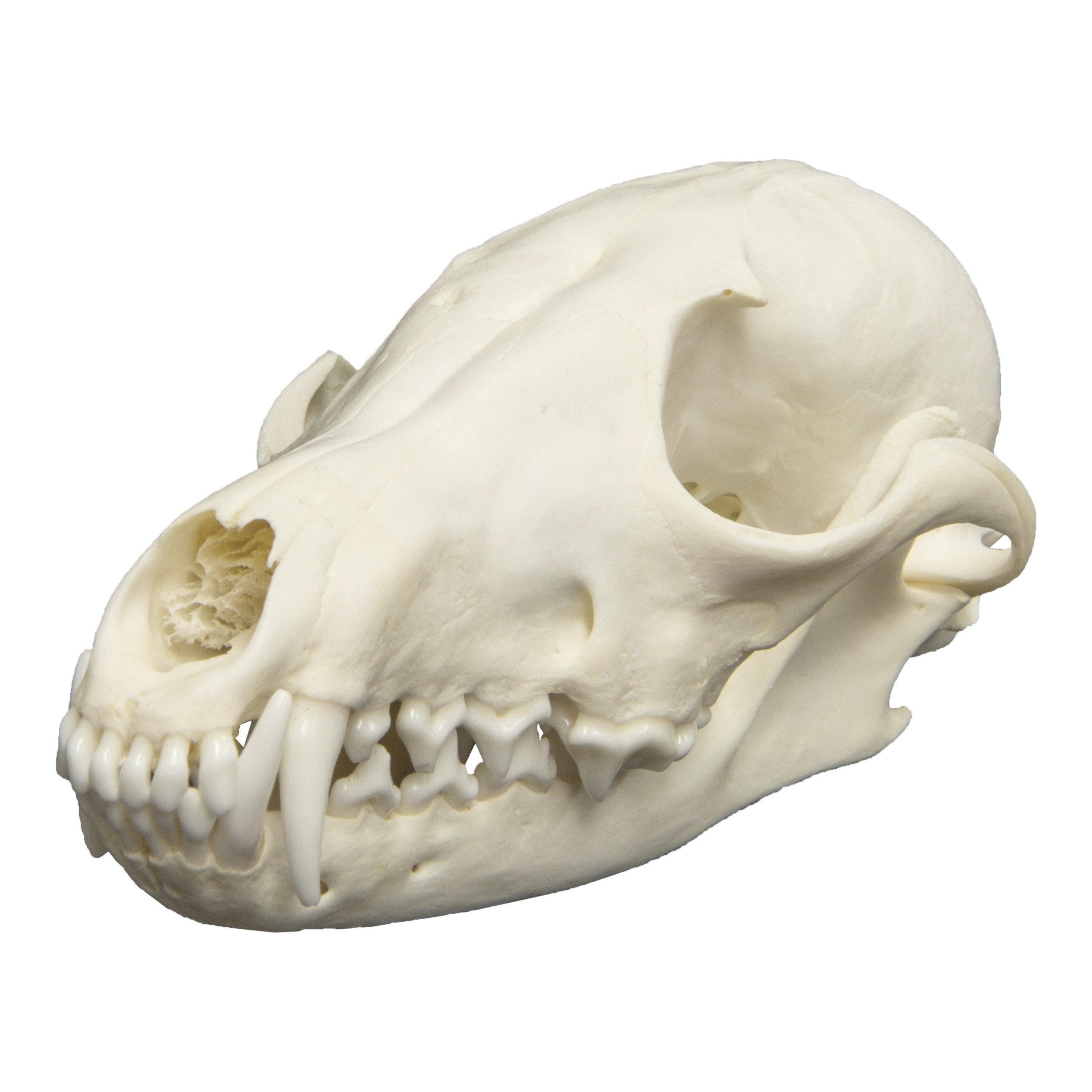 Real Red Fox Skull For Sale