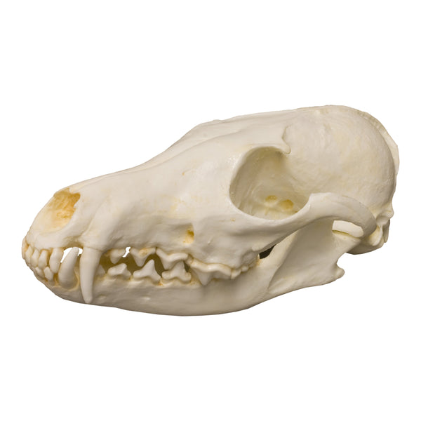 Replica Red Fox Skull