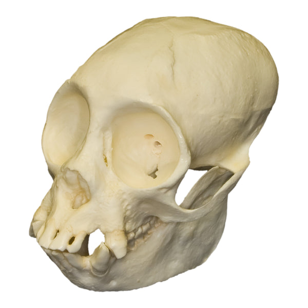 Replica Red Uakari Skull