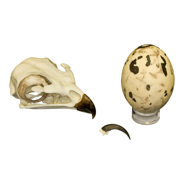 Replica Red-tailed Hawk Set (Skull, Talon, Egg)