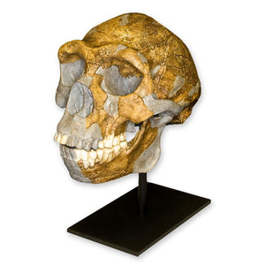 Replica Peking Man Skull