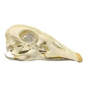 Real Domestic Goose Skull