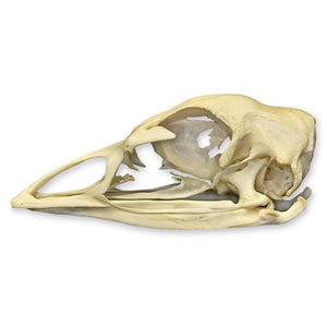 Real Domestic Turkey Skull