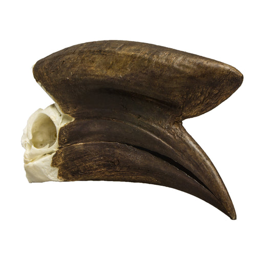 Real Black-casqued Hornbill Skull (Male)