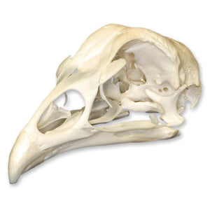 Real Chicken Skull