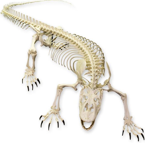 Replica Komodo Dragon Skeleton