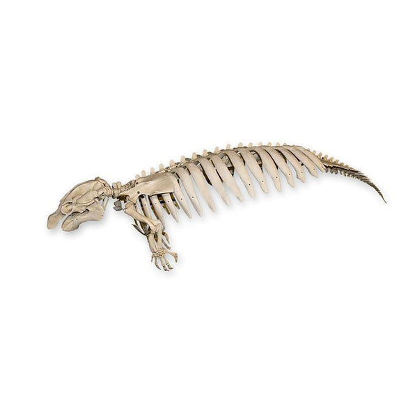 Replica Florida Manatee Skeleton (Articulated)