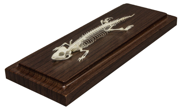 Real Lizard Economy Skeleton
