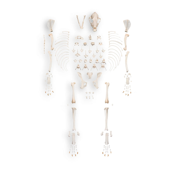 Real Domestic Dog Skeleton by Skulls Unlimited
