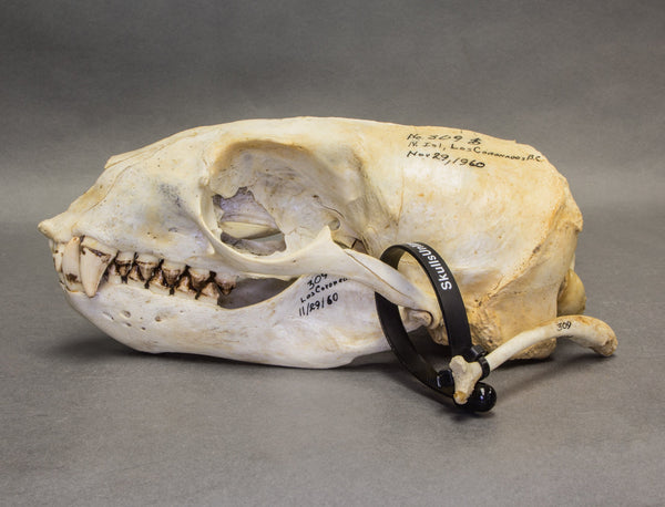 Real California Sea Lion Skull