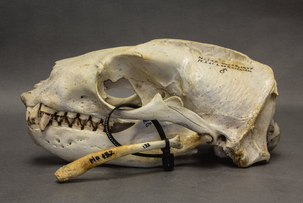 Real California Sea Lion Skull (11854)