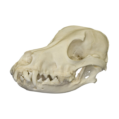 Real Domestic Dog Skull with Periodontal Disease