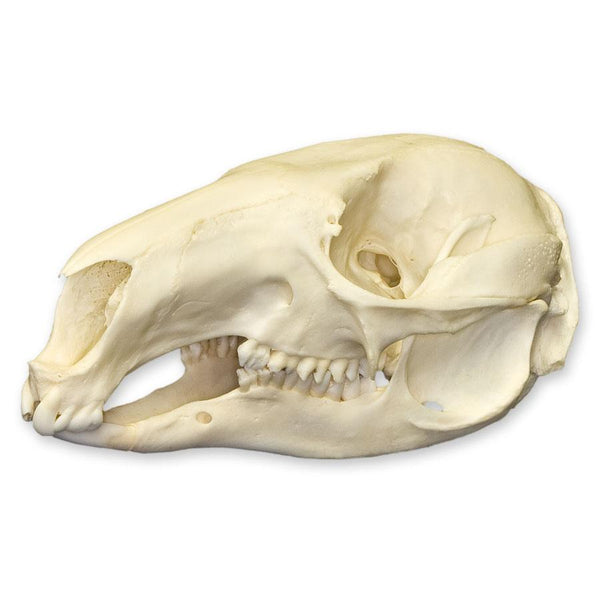 Real Red-necked Wallaby Skull