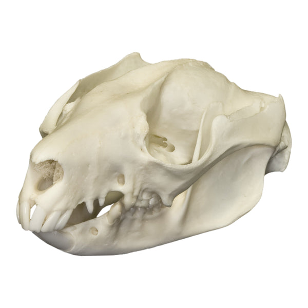 Real Brush-tail Possum Skull