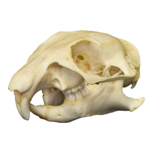 Real Prairie Dog Skull