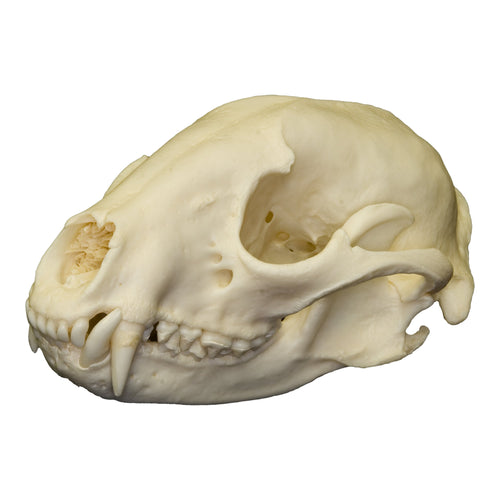 Real Raccoon Skull