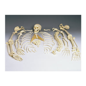 Replica Disarticulated Human Skeleton