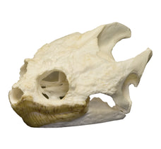 Real Snapping Turtle Skull