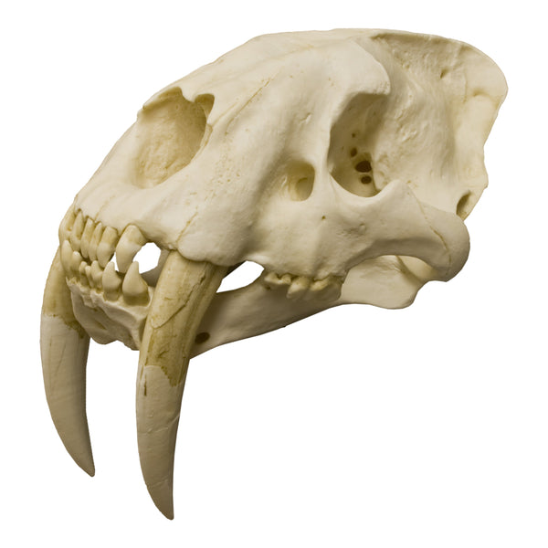 Replica Sabertooth Cat Skull