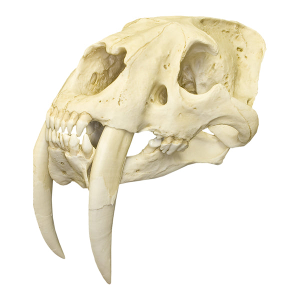 Replica Sabertooth Cat Deluxe Smilodon