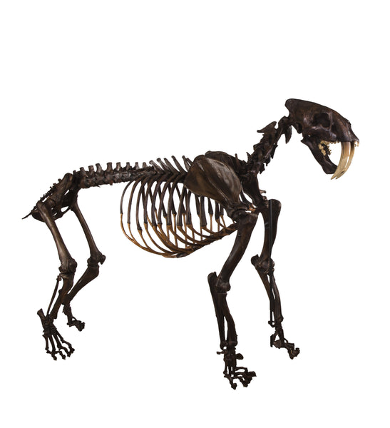 Replica Sabertooth Cat Skeleton (Tar Finish) - Articulated