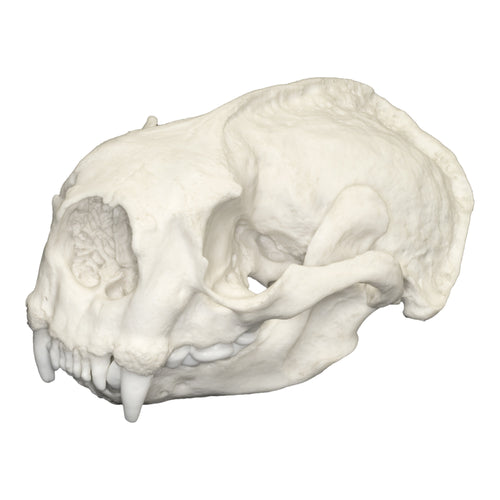 Replica Sea Otter Skull