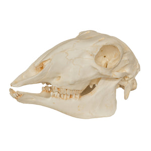 Replica Sheep Skull
