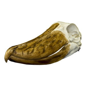 Replica Shoebill Skull