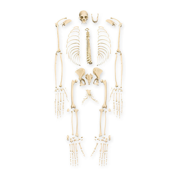 Replica Siamang Skeleton (Disarticulated)
