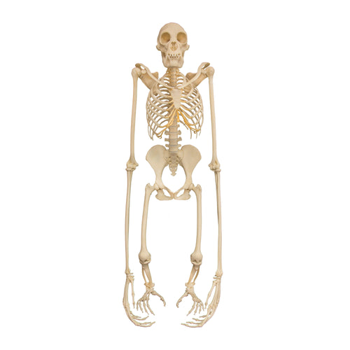 Replica Siamang Skeleton (Articulated)
