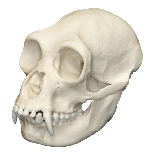 Replica Siamang Skull (Female)