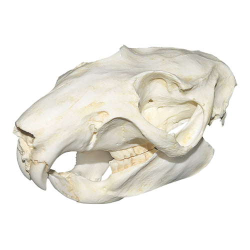 Replica Slender-tailed Cloud Rat Skull