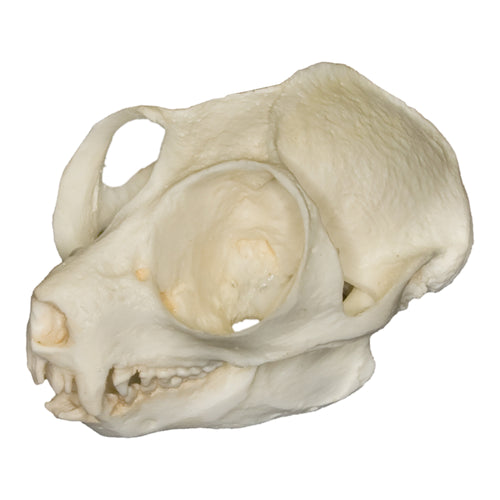 Replica Slow Loris Skull