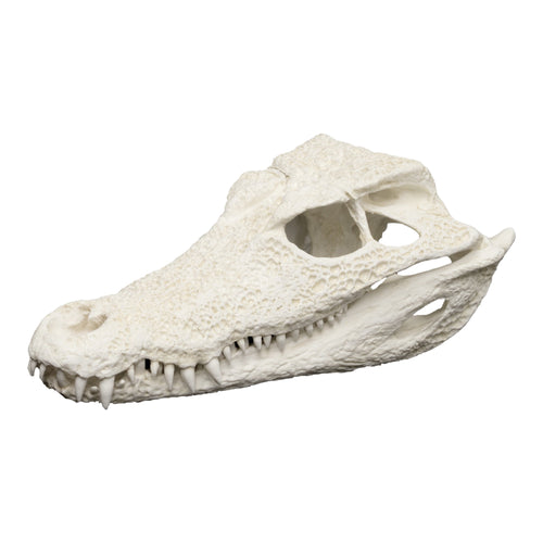 Replica Smooth-fronted Caiman Skull