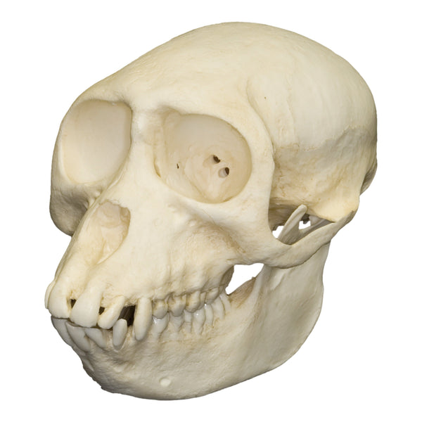 Replica Sooty Mangabey Skull (Female)