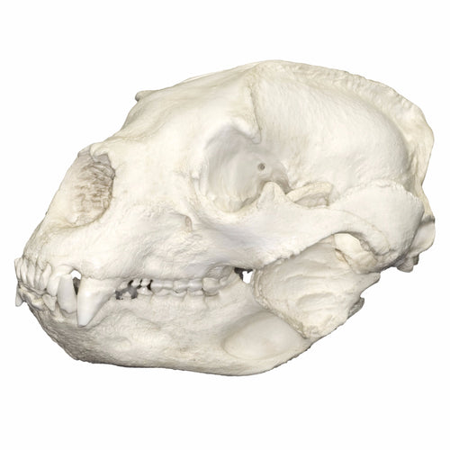 Replica Spectacled Bear Skull
