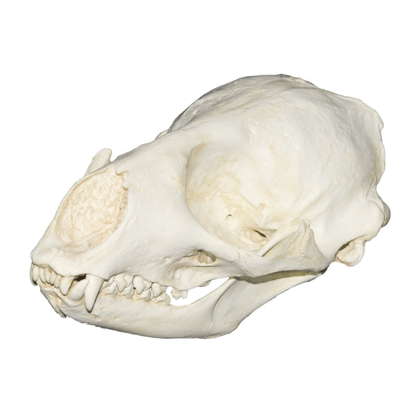 Replica Spotted Seal Skull