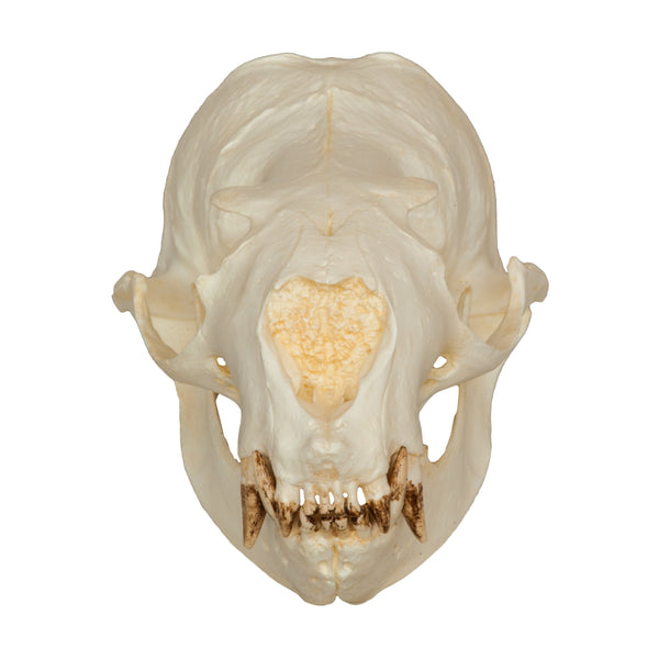 Replica Steller Sea Lion Skull (Female)