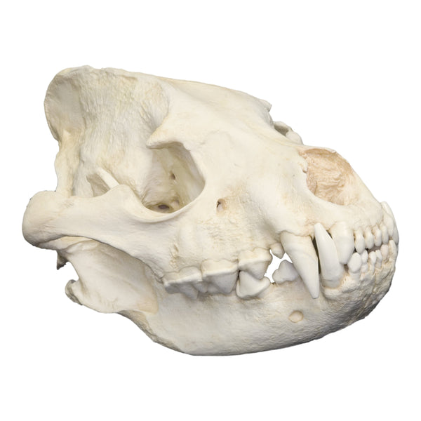 Replica Striped Hyena Skull