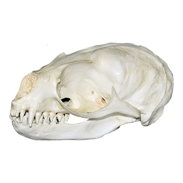 Replica Subantarctic Fur Seal Skull
