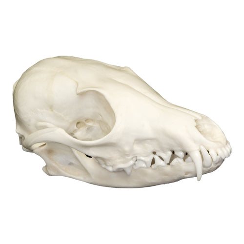 Real Swift Fox Skull