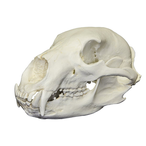Replica American Black Bear Skull