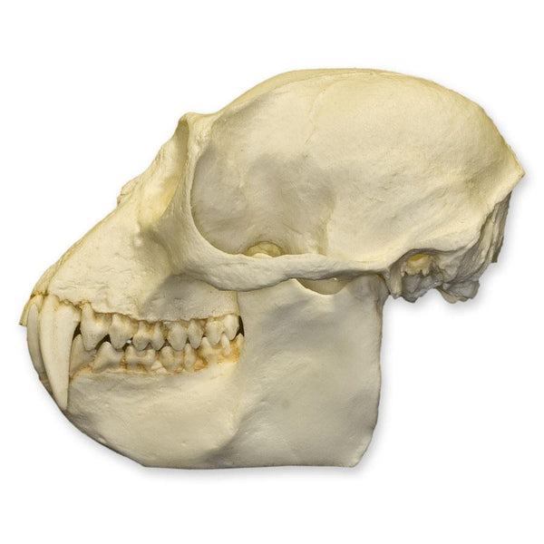Replica Colobus Monkey Skull
