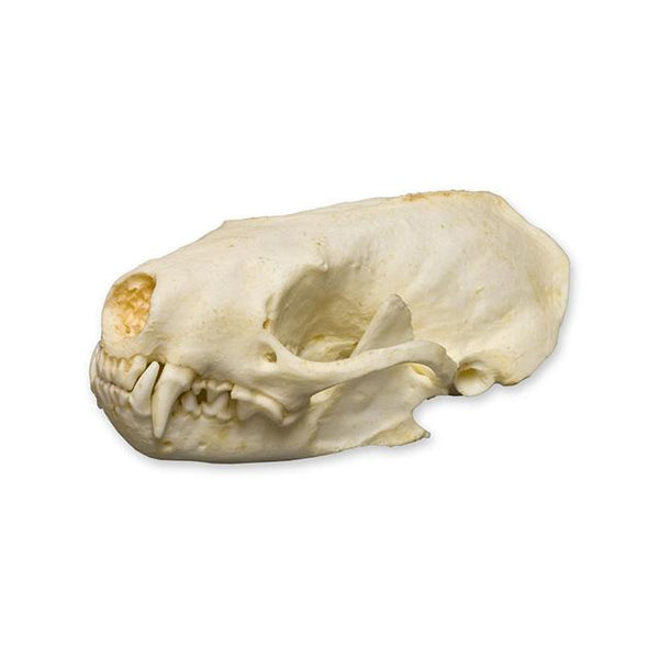 Replica Spotted Skunk Skull