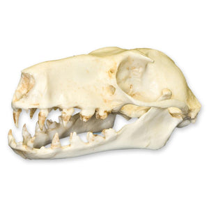 Replica Hammerhead Fruit Bat Skull (Female)