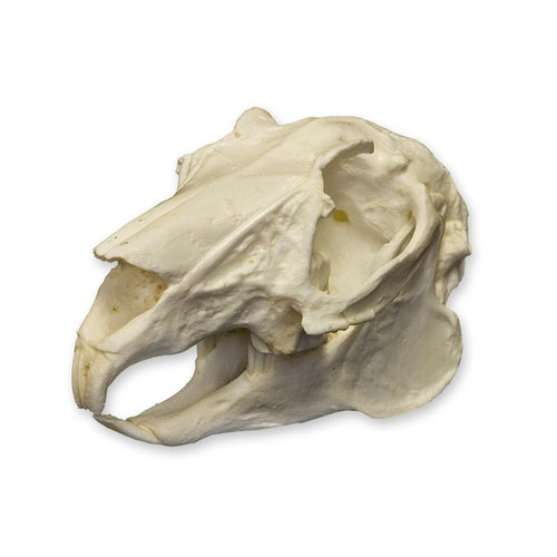 Replica Rabbit Skull
