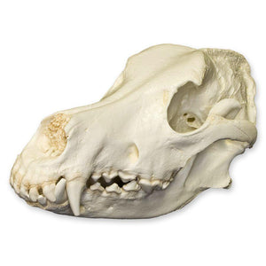 Replica German Shepherd Skull