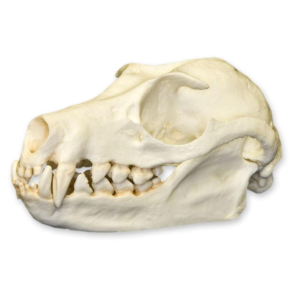 Replica Fruit Bat Skull